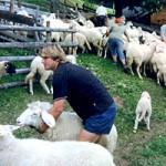 Schafzucht – meine große Leidenschaft